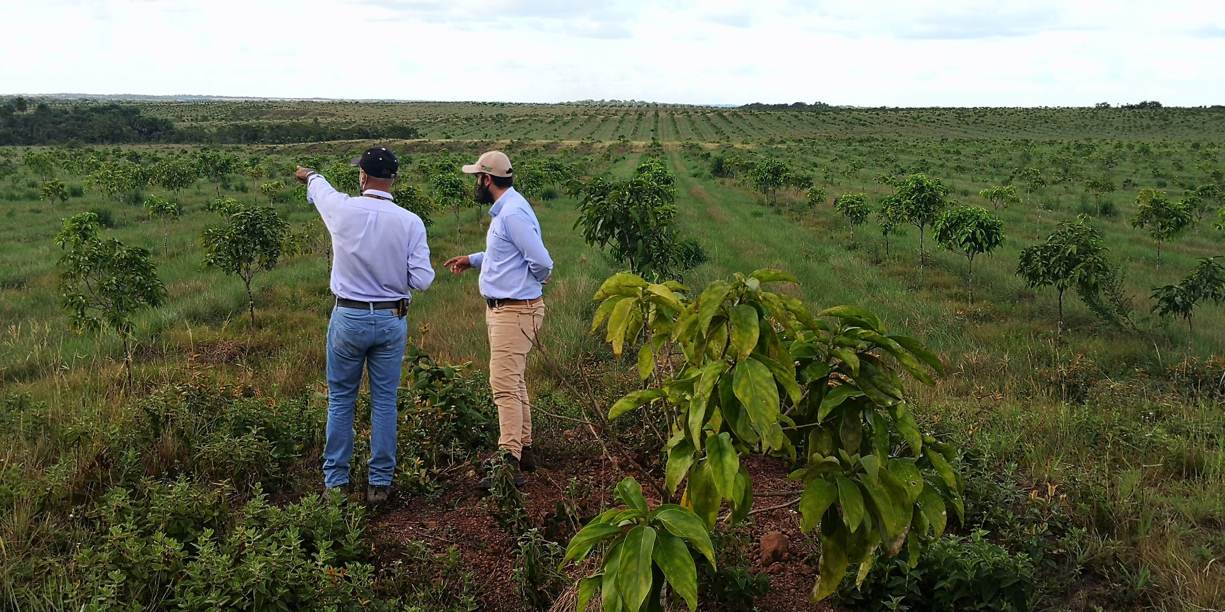 cacay trees, agribusiness, Colombia, reforestation, climate change